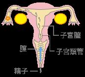妊娠のしくみ~射精